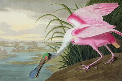 Roseate Spoonbill, Platalea Leucorodia, from 'The Birds of America', 1836