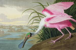 Roseate Spoonbill, Platalea Leucorodia, from 'The Birds of America', 1836 by John James Audubon
