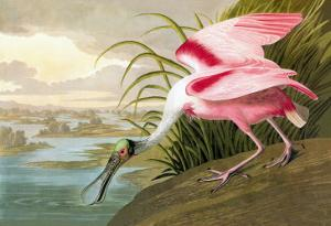Roseate Spoonbill by John James Audubon