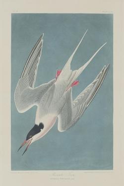 Roseate Tern, 1835 by John James Audubon