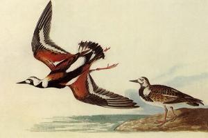 Ruddy Turnstone by John James Audubon