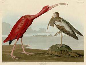 Scarlet Ibis by John James Audubon