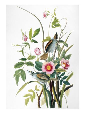 Seaside Sparrow, 1858