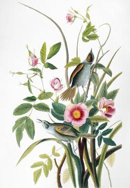 Seaside Sparrow, 1858 by John James Audubon