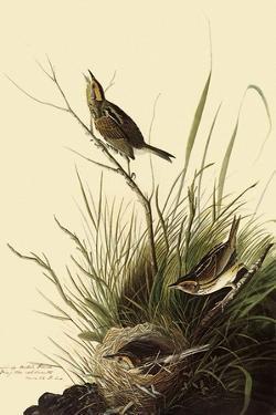 Sharp-Tailed Sparrows by John James Audubon
