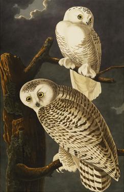 Snowy Owl (Nyctea Scandiaca), Plate Cxxi, from 'The Birds of America' by John James Audubon