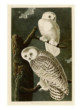 Snowy Owl by John James Audubon