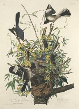 The Mocking Bird, 1827 by John James Audubon