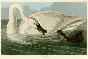 Trumpeter Swan by John James Audubon
