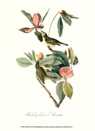 Vireo by John James Audubon