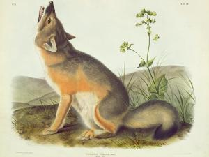 Vulpes Velox (Swift Fox), Plate 52 from 'Quadrupeds of North America', Engraved by John T. Bowen… by John James Audubon