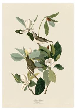 Warbling Flycatcher by John James Audubon