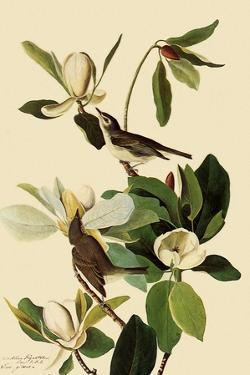 Warbling Vireos by John James Audubon