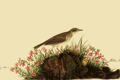 Water Pipit by John James Audubon