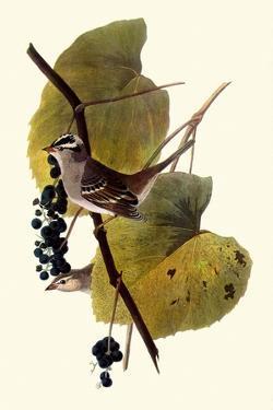 White-Crowned Sparrows by John James Audubon