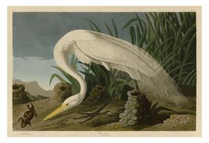 White Heron by John James Audubon