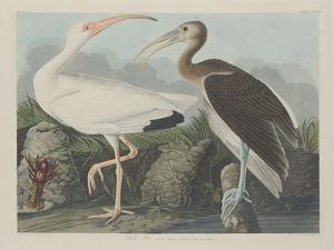 White Ibis, 1834 by John James Audubon