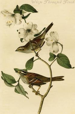 White Throated Finch by John James Audubon