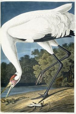Whooping Crane, Adult Male, 1834 by John James Audubon