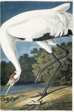 Whooping Crane, Adult Male, 1834 by John James Audubon