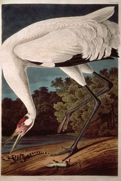 "Whooping Crane, from ""Birds of America"" by John James Audubon"