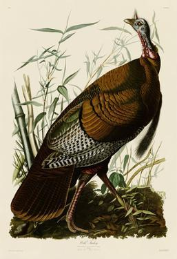Wild Turkey I by John James Audubon