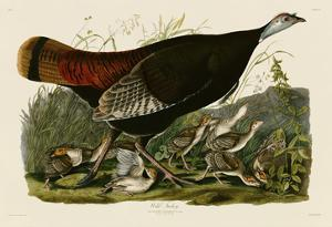 Wild Turkey II by John James Audubon