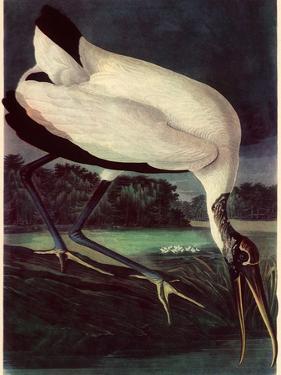 Wood Ibis by John James Audubon
