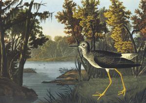Yellow Shank by John James Audubon
