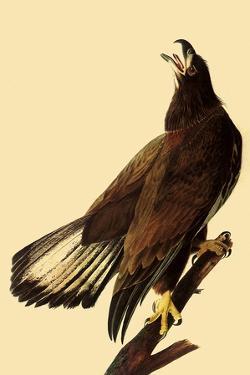 Young Bald Eagle by John James Audubon