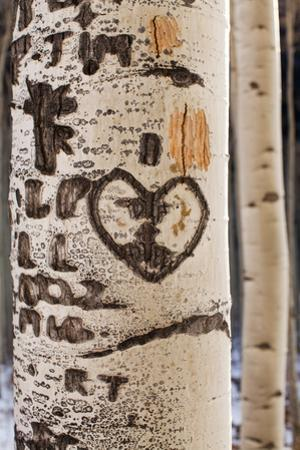 Usa, Colorado, Close-Up of Aspen Tree Trunk with Carved Heart