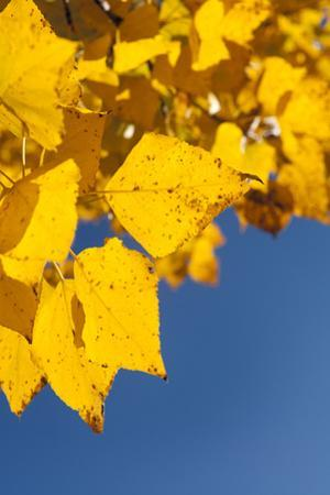 Usa, Colorado, Close-Up of Yellow Leaves against Blue Sky