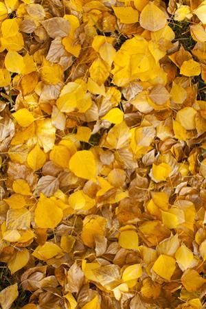 Usa, Colorado, Close-Up of Yellow Leaves