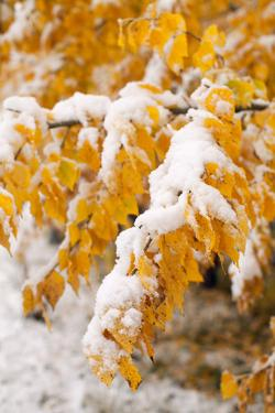 Usa, Colorado, Twigs with Yellow Leaves Covered by Snow by John Kelly