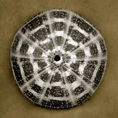Alphonso Sea Urchin