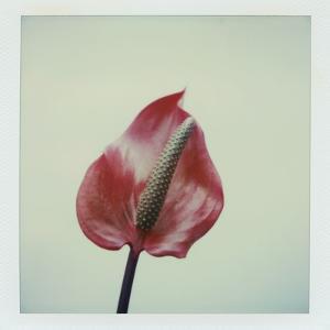 Anthurium Flower by John Kuss