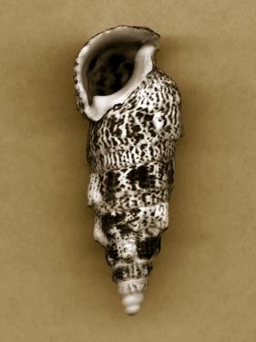 Cerithium Shell by John Kuss