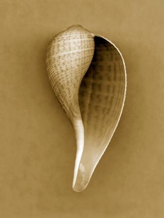 Graceful Fig Shell