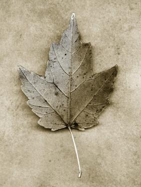 Maple Leaf by John Kuss