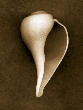 White Conch Shell by John Kuss