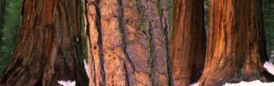 Californian Redwood Trees, California
