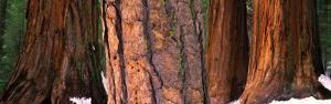 Californian Redwood Trees, California by John Lawrence