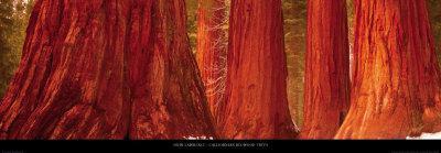 Californian Redwood Trees