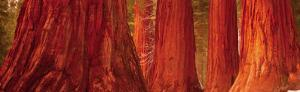 Californian Redwood Trees by John Lawrence