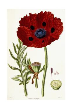 Papaver Bracteatum, 1821-1826 by John Lindley