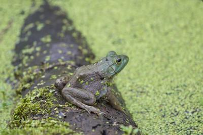 American Bullfrog in pond with duckweed Marion County, Illinois by John & Lisa Merrill