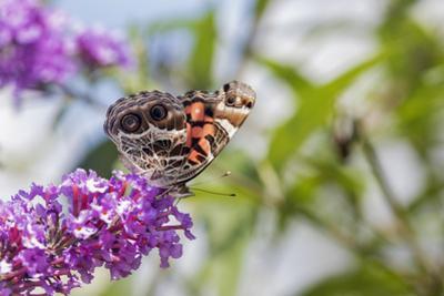 American Lady on Butterfly Bush, Illinois by John & Lisa Merrill