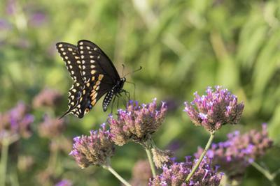 Black Swallowtail male on Brazilian Verbena, Illinois by John & Lisa Merrill