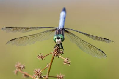 Blue Dasher male in wetland Marion County, Illinois by John & Lisa Merrill