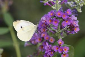 Cabbage White on Butterfly Bush, Illinois by John & Lisa Merrill